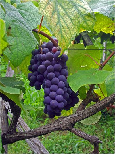 Grapes for wines